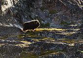 Muskox (Ovibos moschatus) in the summer tundra, Greenland