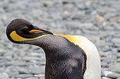 King Penguin (Aptenodytes patagonicus) Grooming, South Georgia