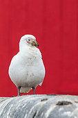 Snowy Sheathbill (Chionis alba) in front of the hutte of a scientific station, Antarctica, Antarctica