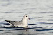 Southern Fulmar (Fulmarus glacialoides) on water, Antarctica