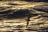 Cape Adult Checkers (Daption capense) in flight over the sea at sunset, Antarctica