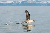 Northern Fulmar (Fulmarus glacialis) flying away, Svalbard