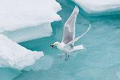 Glaucous Gull (Larus hyperboreus) eating a fish on ice, Svalbard