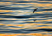 Northern Fulmar (Fulmarus glacialis) in flight over the sea at sunset, Kuril Islands, Russia