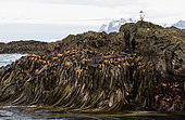 Imperial Shag (Leucocarbo atriceps) on a Kelp covered rock (Durvillea antarctica), South Georgia