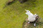 Northern Fulmar (Fulmarus glacialis) on the edge of a cliff in a breeding colony, Iceland