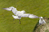 Northern Fulmar (Fulmarus glacialis) one in flight, the other on the edge of a cliff in a breeding colony, Iceland