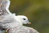 Northern Fulmar (Fulmarus glacialis) in flight near a breeding colony, Iceland