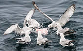 Southern Fulmar (Fulmarus glacialoides) group eating the remains of a Southern Elephant Seal (Mirounga leonina), Antarctica