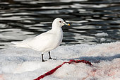 Ivory Gull (Pagophila eburnea) eating the remains of a seal on ice, Svalbard