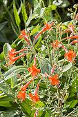 Zauschneria californica 'Glasnevin'