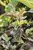 Ocinum basilicum purpurascens 'Purple Ruffles'
