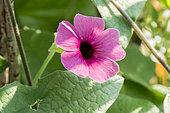 Thunbergia alata 'Arizona Rose Sensation'