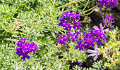 Verbena speciosa 'Imagination'