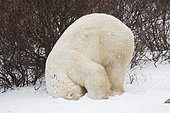 Polar Bear (Ursus maritimus) doing a somersault, Churchill, Manitoba, Canada, North America