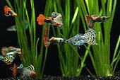 Guppy (Poecilia reticulata), Aquarium with several guppy males