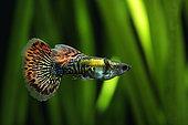 Guppy (Poecilia reticulata) male guppy mozaic in aquarium