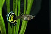 Guppy (Poecilia reticulata) female guppy florale in aquarium