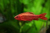 Cherry barb (Puntius titteya), Cherry barb male in aquarium