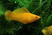Molly saffron (Poecilia sphenops). Molly saffron male in aquarium