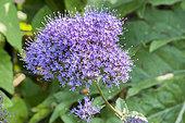 Trachelium caeruleum 'Passion Blue'
