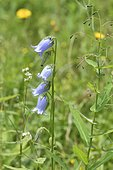 Bearded Bellflower (Campanula barbata) flowers, Savoie, France