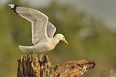 Caspian Gull (Larus cachinnans) on a tree, Danube Delta, Romania