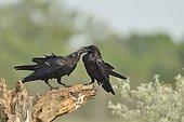 Raven (Corvus corax) on a branch, Danube Delta, Romania