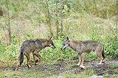 Italian wolf (Canis lupus italicus), Abruzzo, Italy