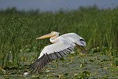 White Pelican (Pelecanus onocrotalus) in flight in the Danube Delta, Romania