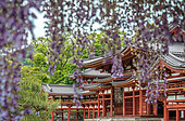 Byodin temple with wysteria in full bloom, Kyôto, Japan