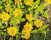 Lantana montevidensis 'Yellow'