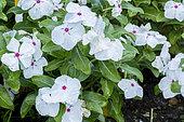 Catharanthus roseus 'Vitesse Peppermint'