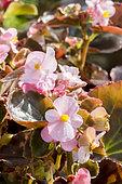 Begonia semperflorens 'Party Flirt'