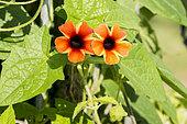 Thunbergia alata 'Tangerine Slice'