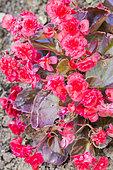 Begonia semperflorens 'Gutave Red'