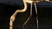Greater Flamingo (Phoenicopterus roseus) in water, Kerkini lake, Greece