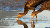 Glossy ibis (Plegadis falcinellus) eating in water, Kerkini lake, Greece