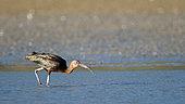Glossy ibis (Plegadis falcinellus) in water, Kerkini lake, Greece