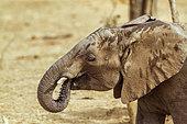 African bush elephant (Loxodonta africana), Kruger National park, South Africa