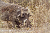 Common warthog (Phacochoerus africanus), Kruger National park, South Africa