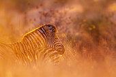 Plains zebra (Equus quagga burchellii) in Kruger National park, South Africa