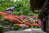 Togakuin Temple, azalea in fulll blum Tokyo, Japan