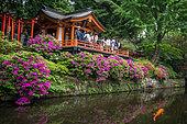 Japanese's garden Nezu jinja and koi's carp, azalea in fulll blum, Tokyo, Japan