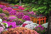 Japanese's garden Nezu jinja, azalea in fulll blum Tokyo, Japan