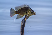 African Darter (Anhinga rufa) swallowing a fish, Kruger National park, South Africa
