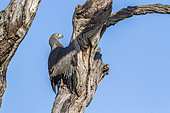 African Harrier-Hawk (Polyboroides typus) on a tree, Kruger National park, South Africa