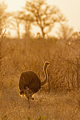 African Ostrich Struthio camelus at dusk, Kruger National park, South Africa