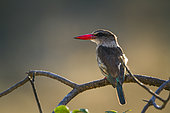 Brown hooded Kingfisher (Halcyon albiventris) on a branch, Kruger National park, South Africa