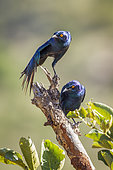 Greater Blue eared Glossy Starling (Lamprotornis chalybaeus) on a branch, Kruger National park, South Africa